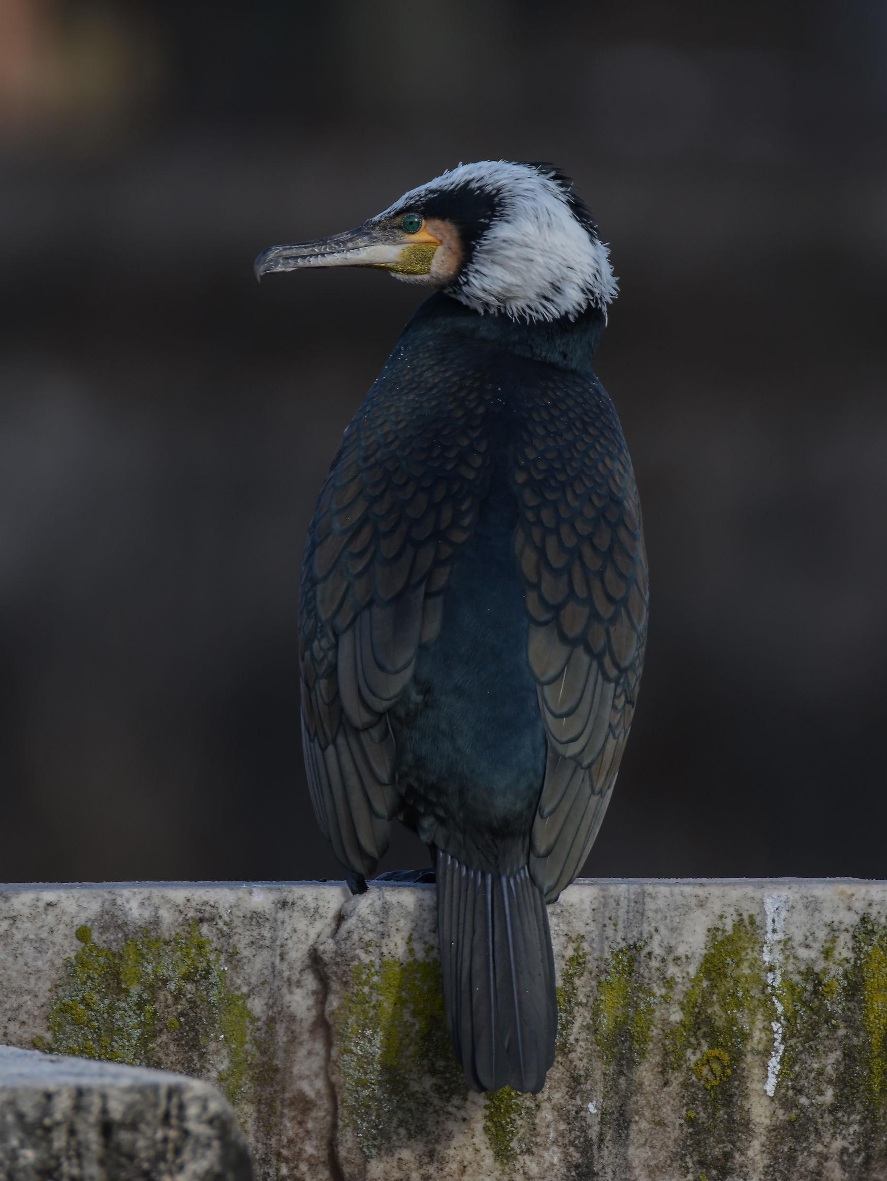 Cormorant ...