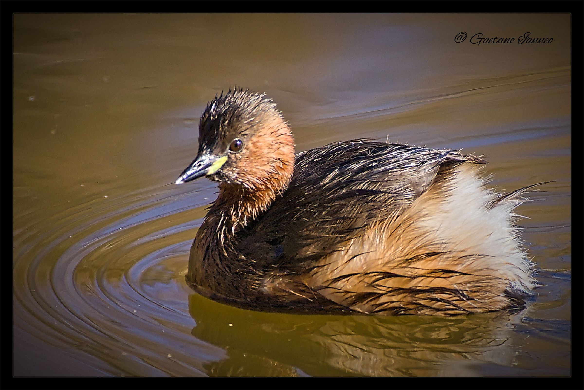 Little Grebe...