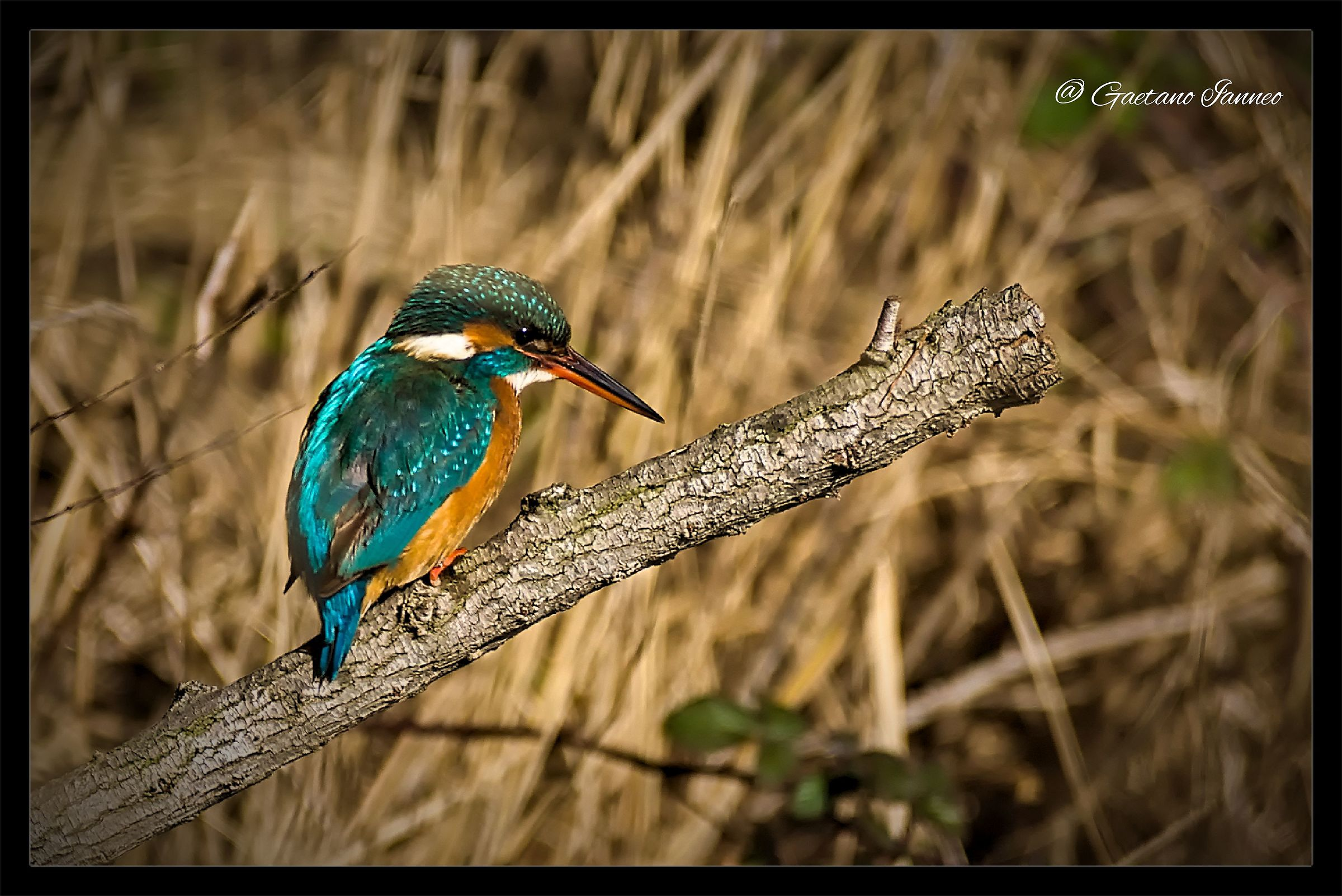 Kingfisher...