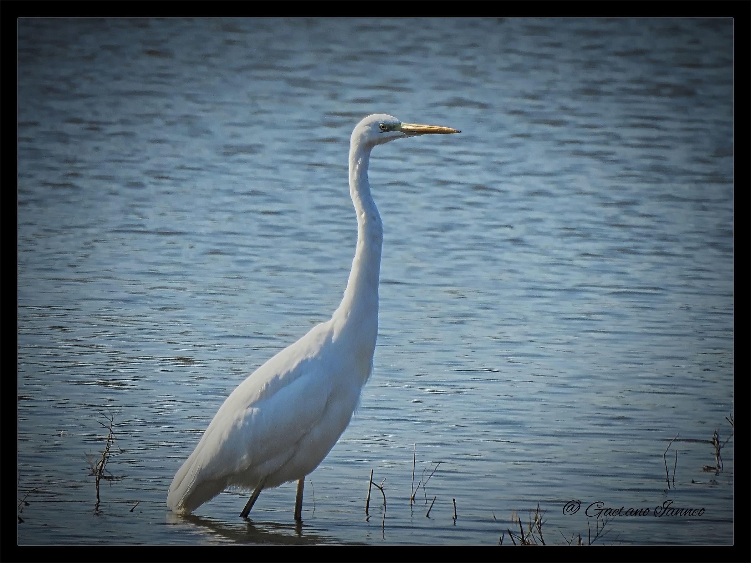 Greater White Heron...