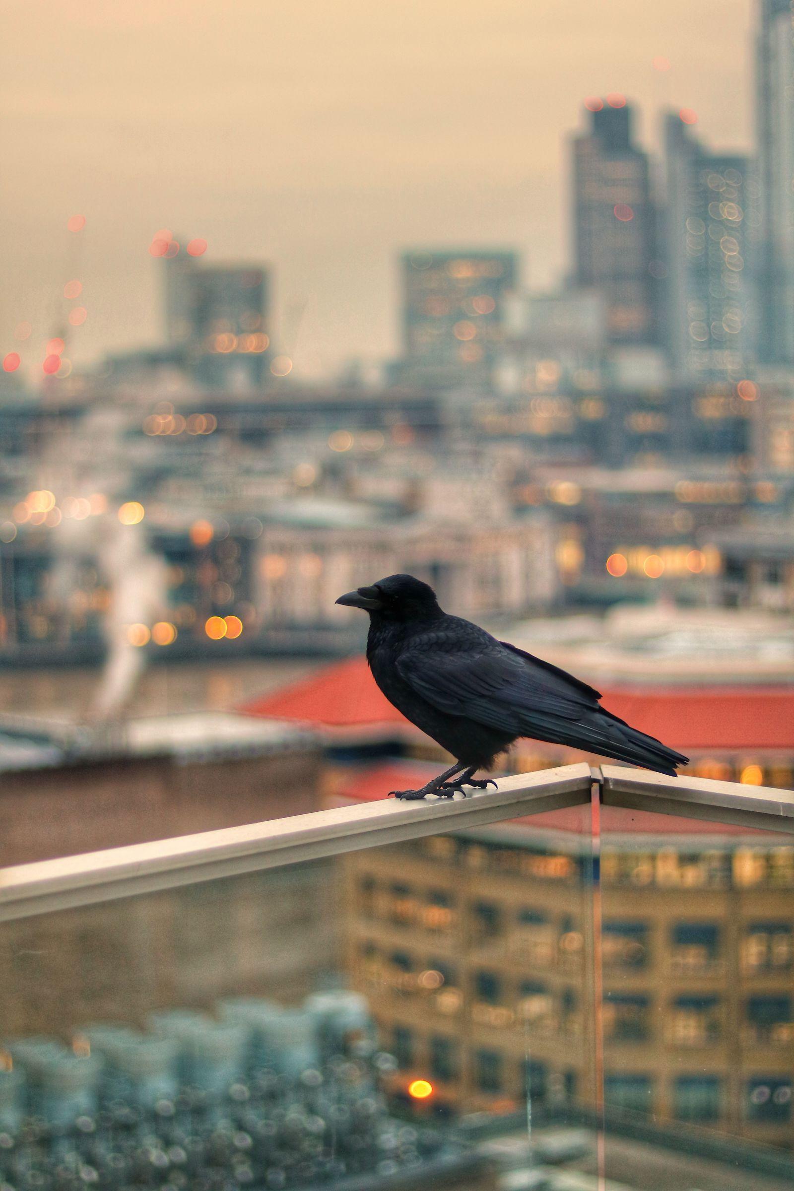 The crow...