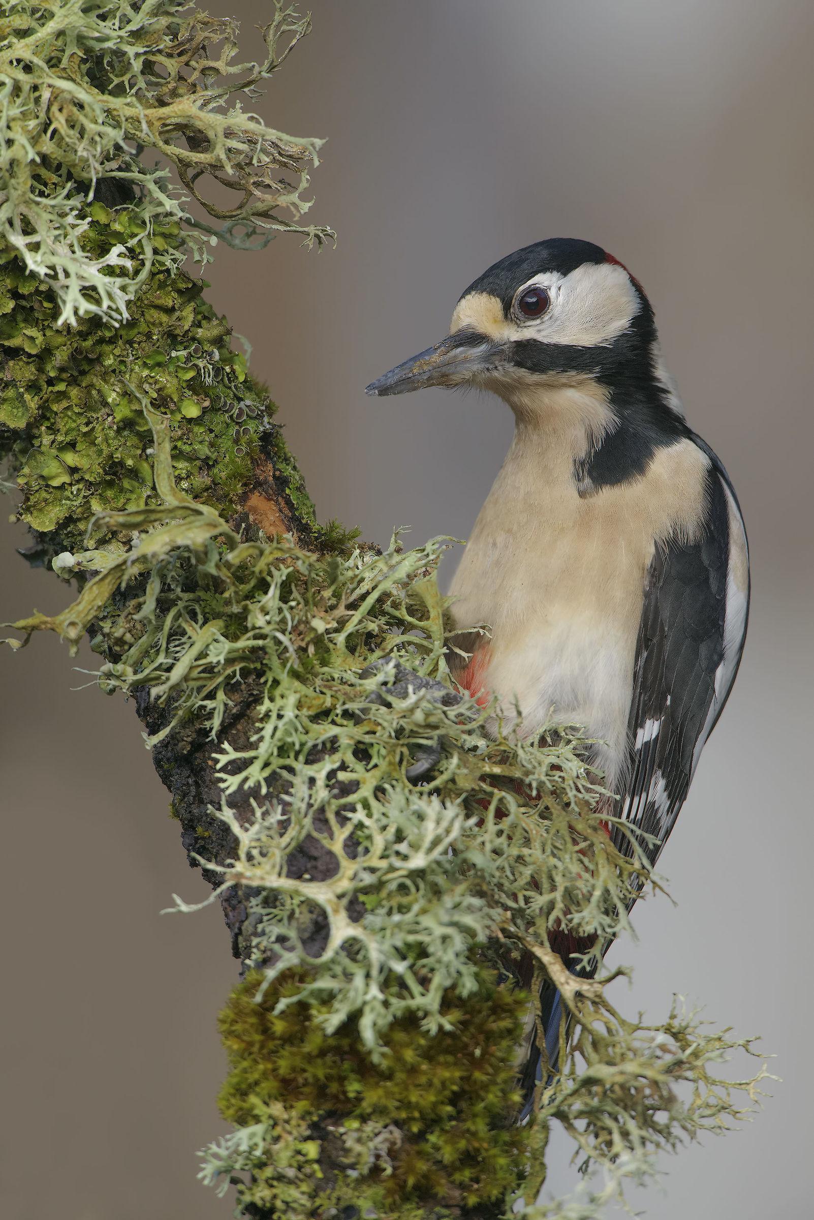 Big Red woodpeckers Sardinian...