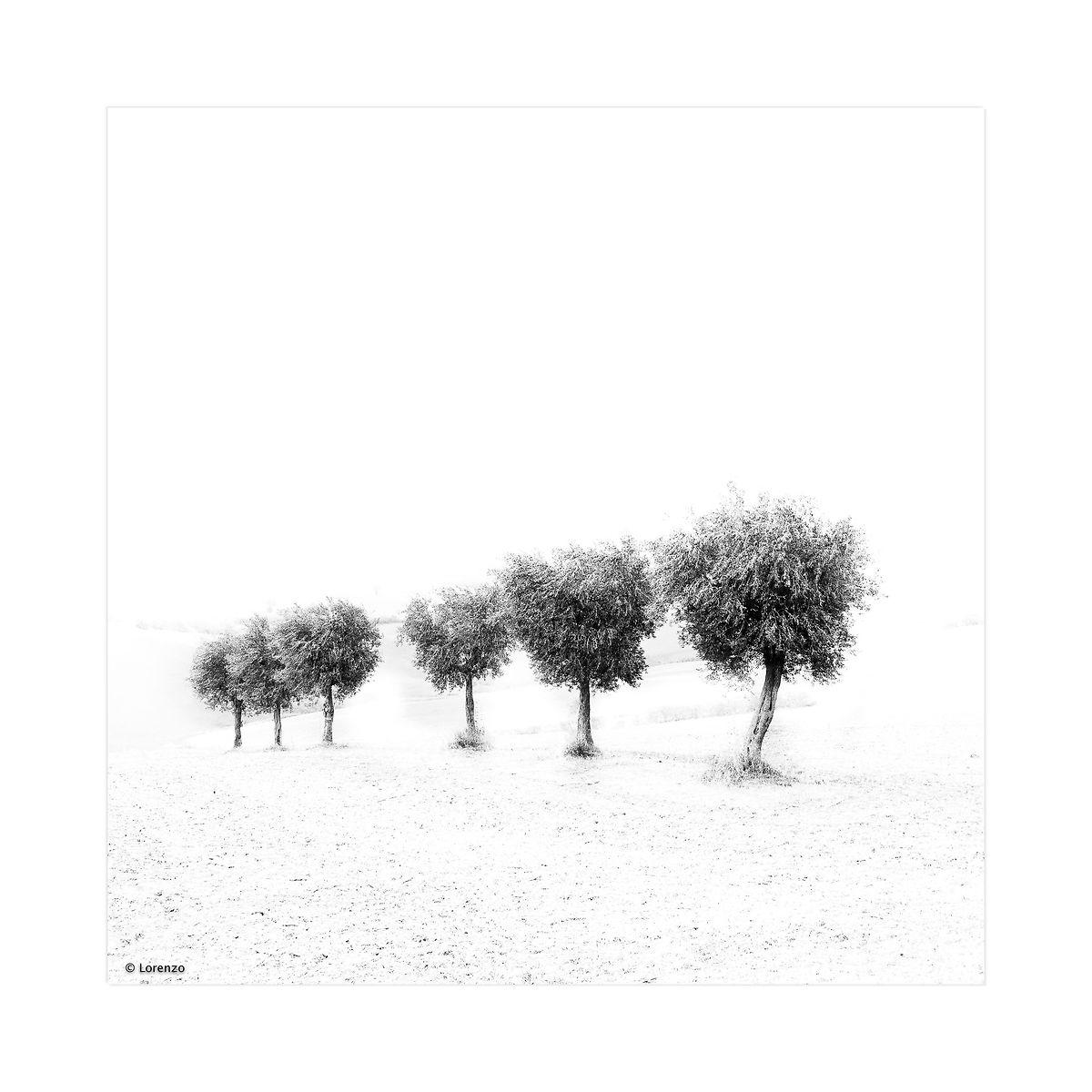 Olive trees...