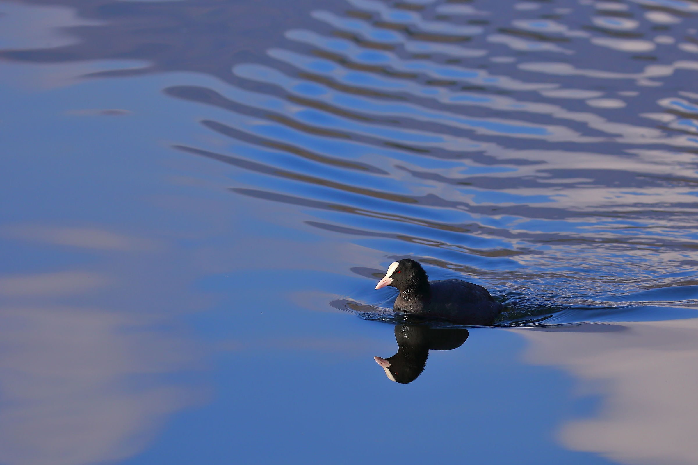 Two Coots...