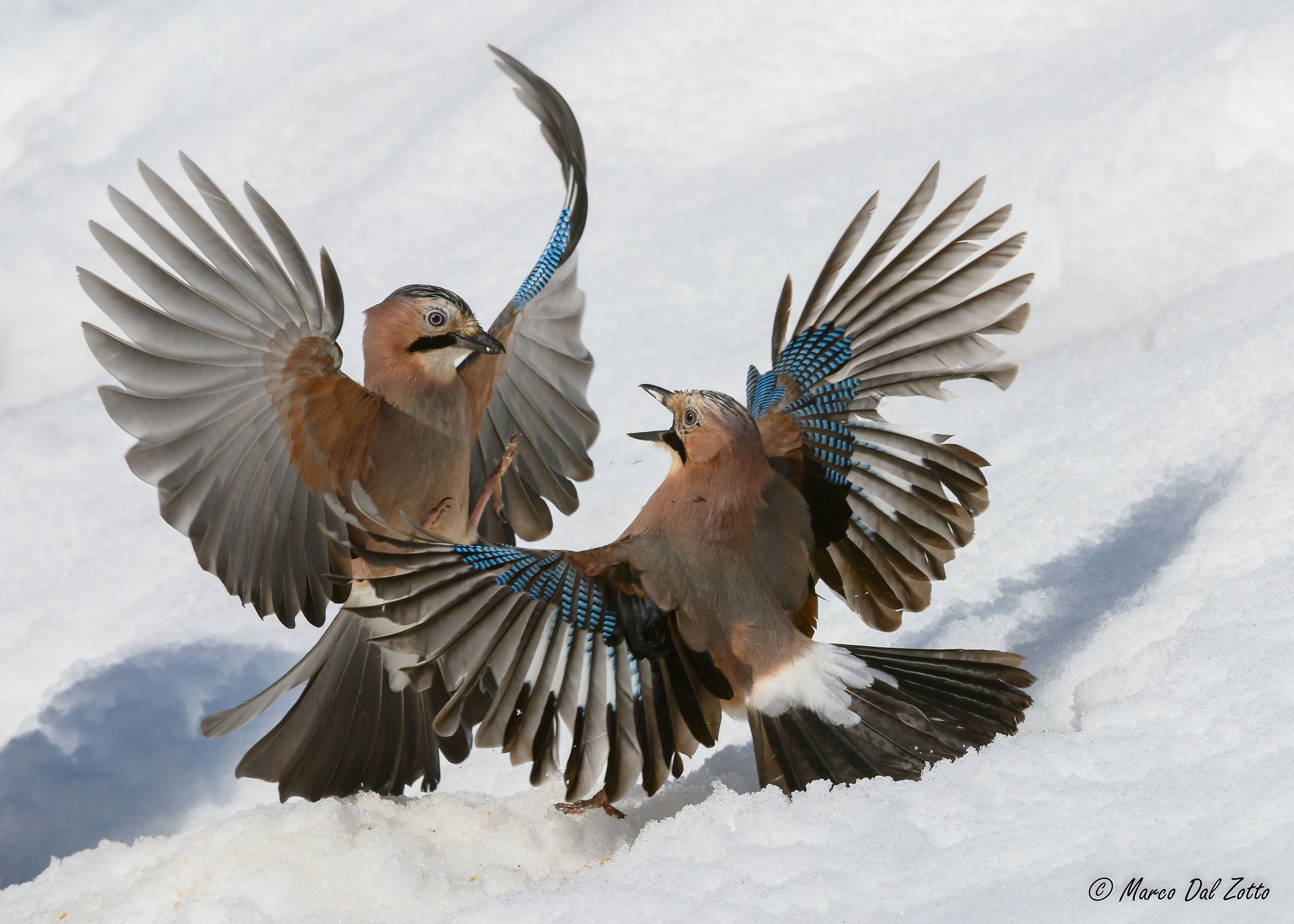 Quarrel between Jays...