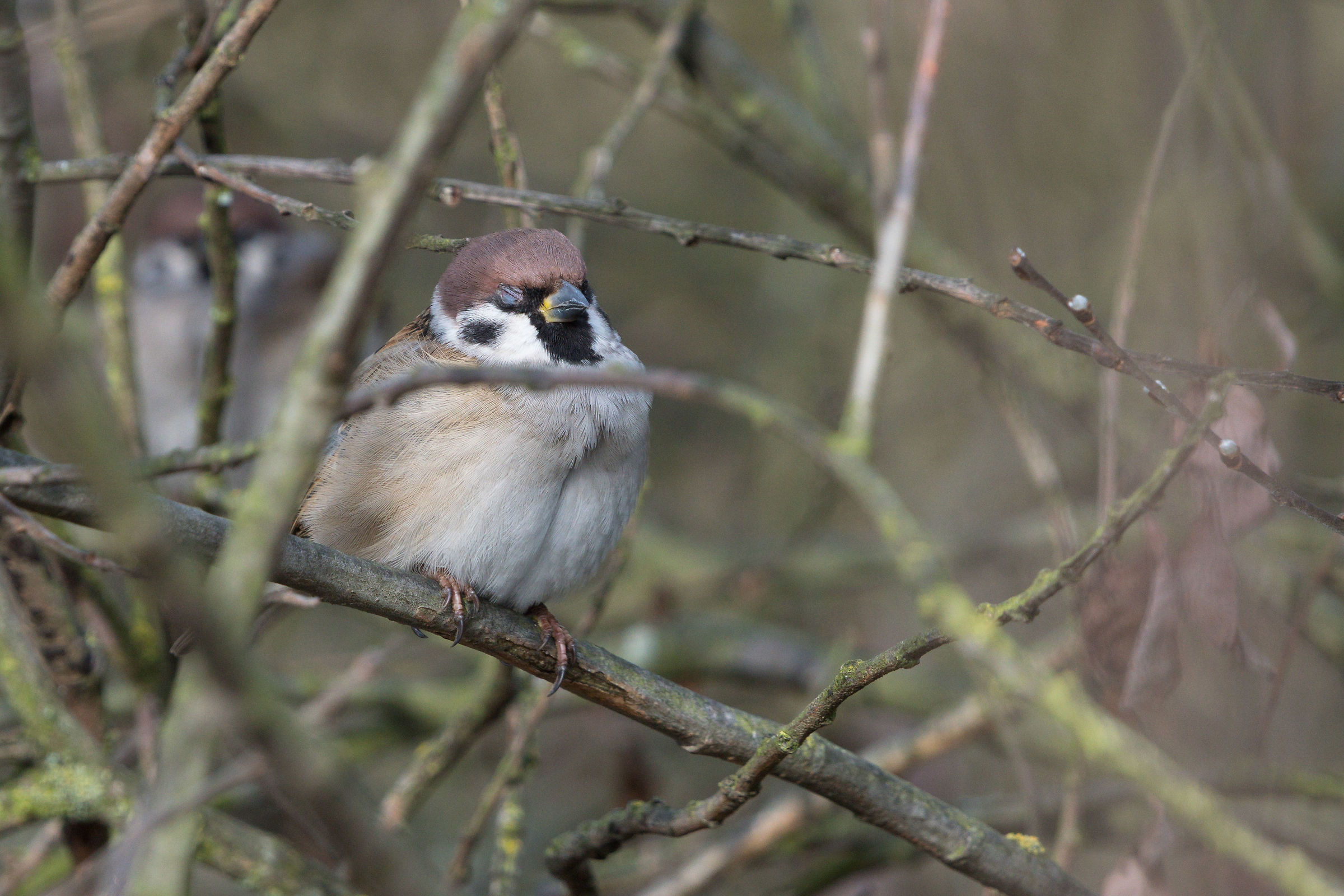 Eurasian tree sparrow (Passer montanus)...