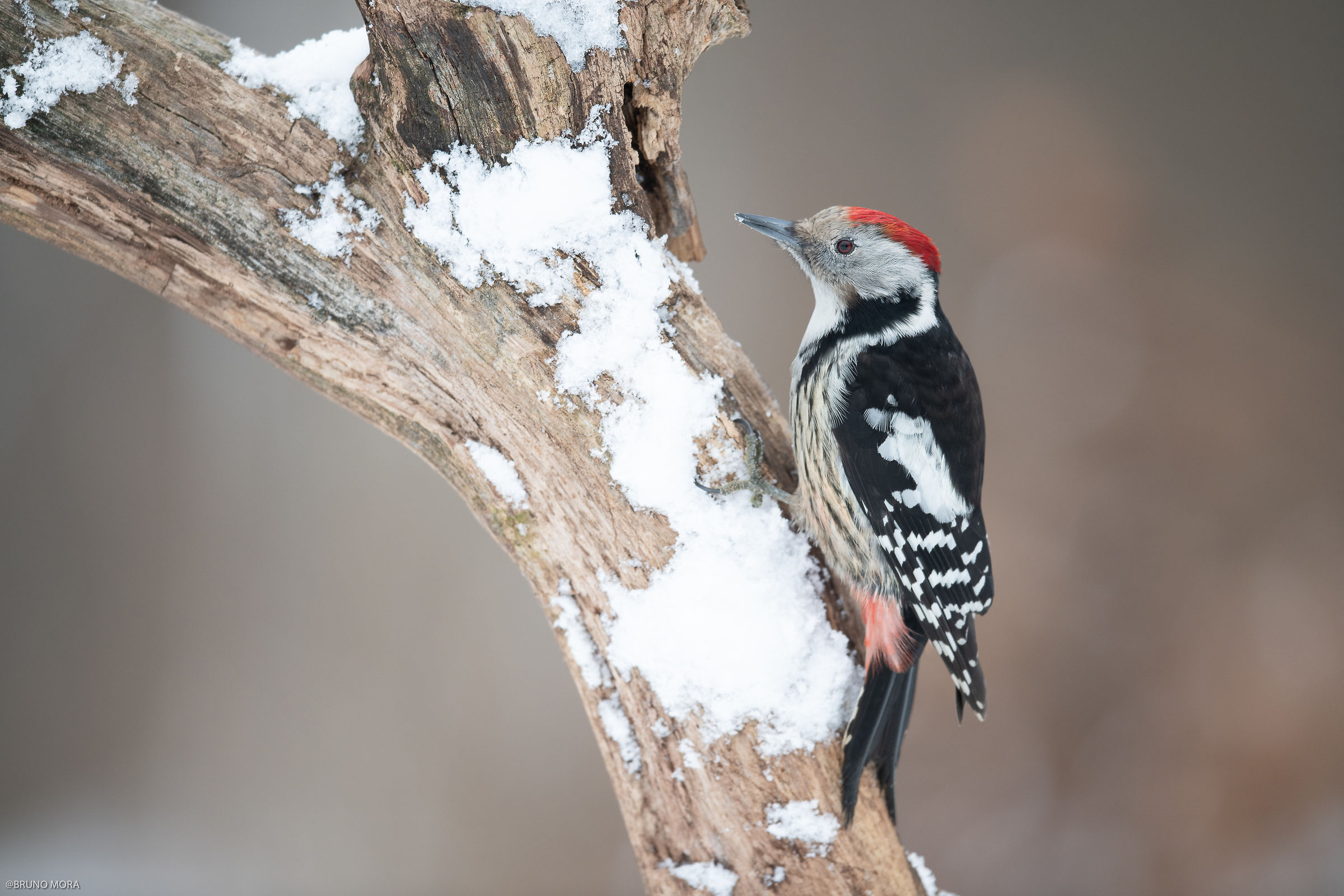 Half-Red woodpeckers...