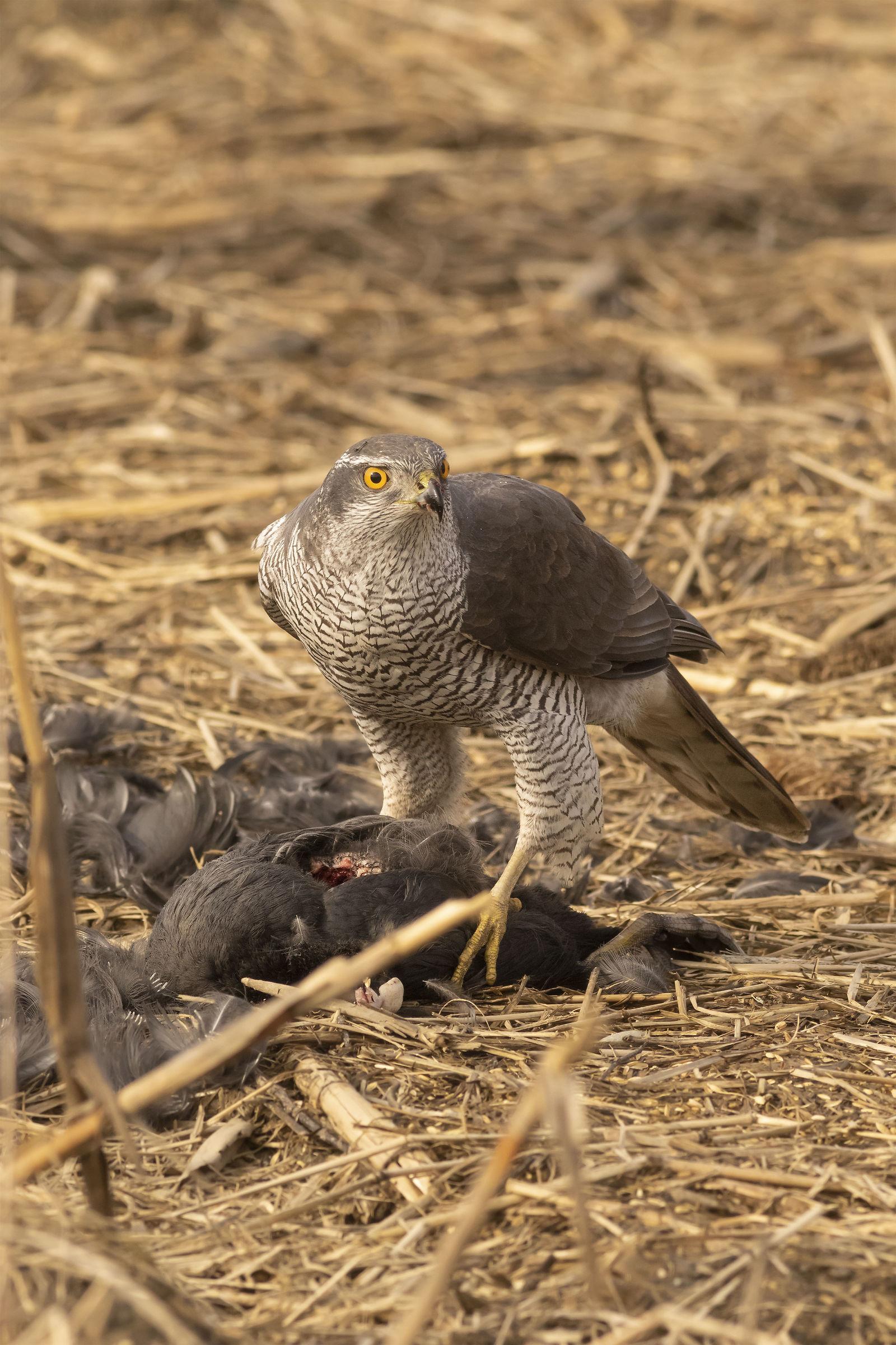 Goshawk (or Sparrowhawk F?) ...