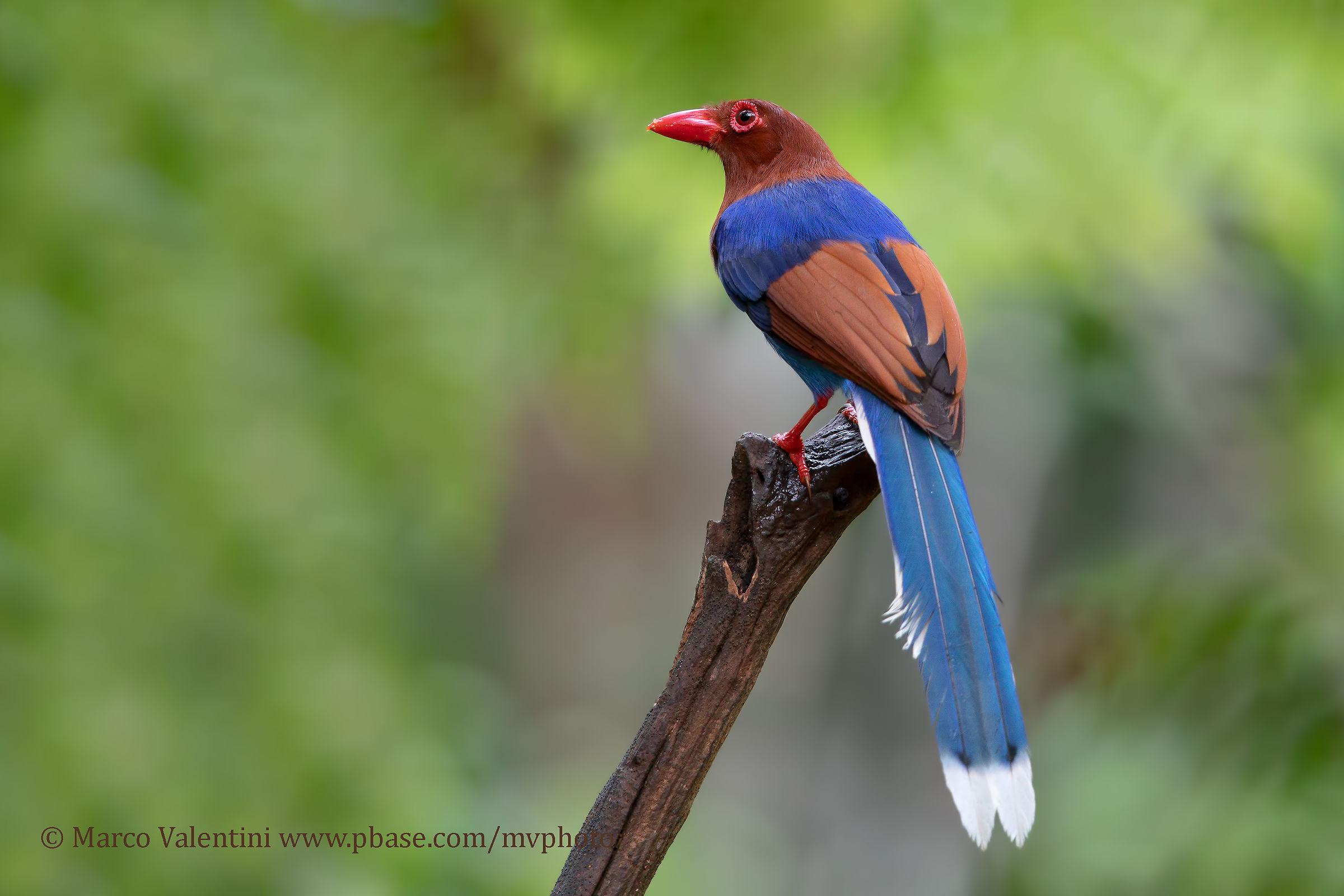 Gazza azzurra di Sri Lanka...
