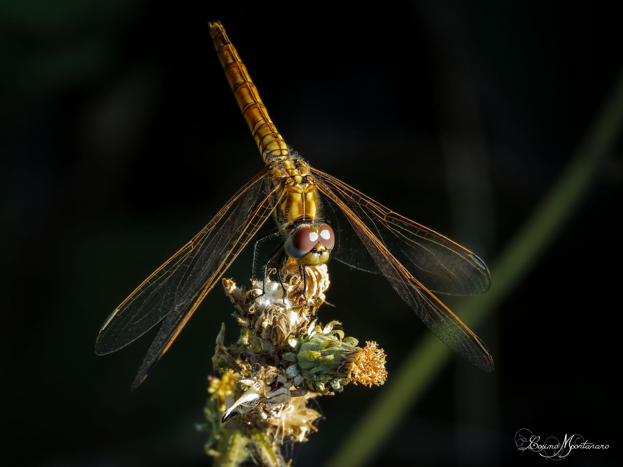 Trithemis annulled ?...