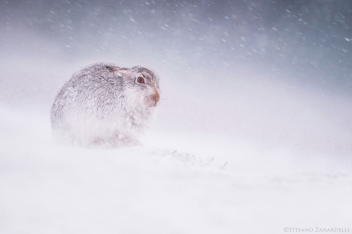 Mountain Hare...