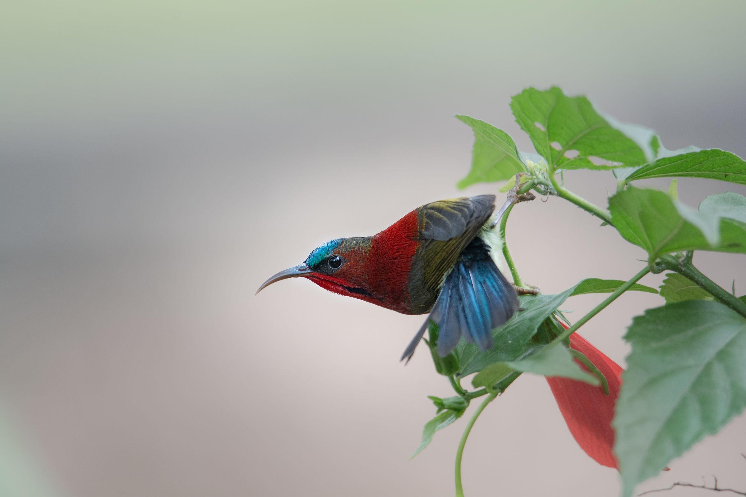 Crimson Sunbird...