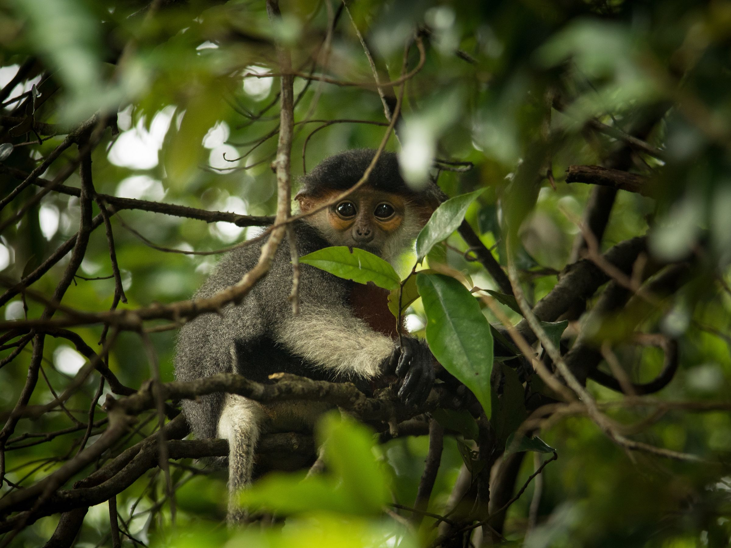 Small and shy Duke Langur...