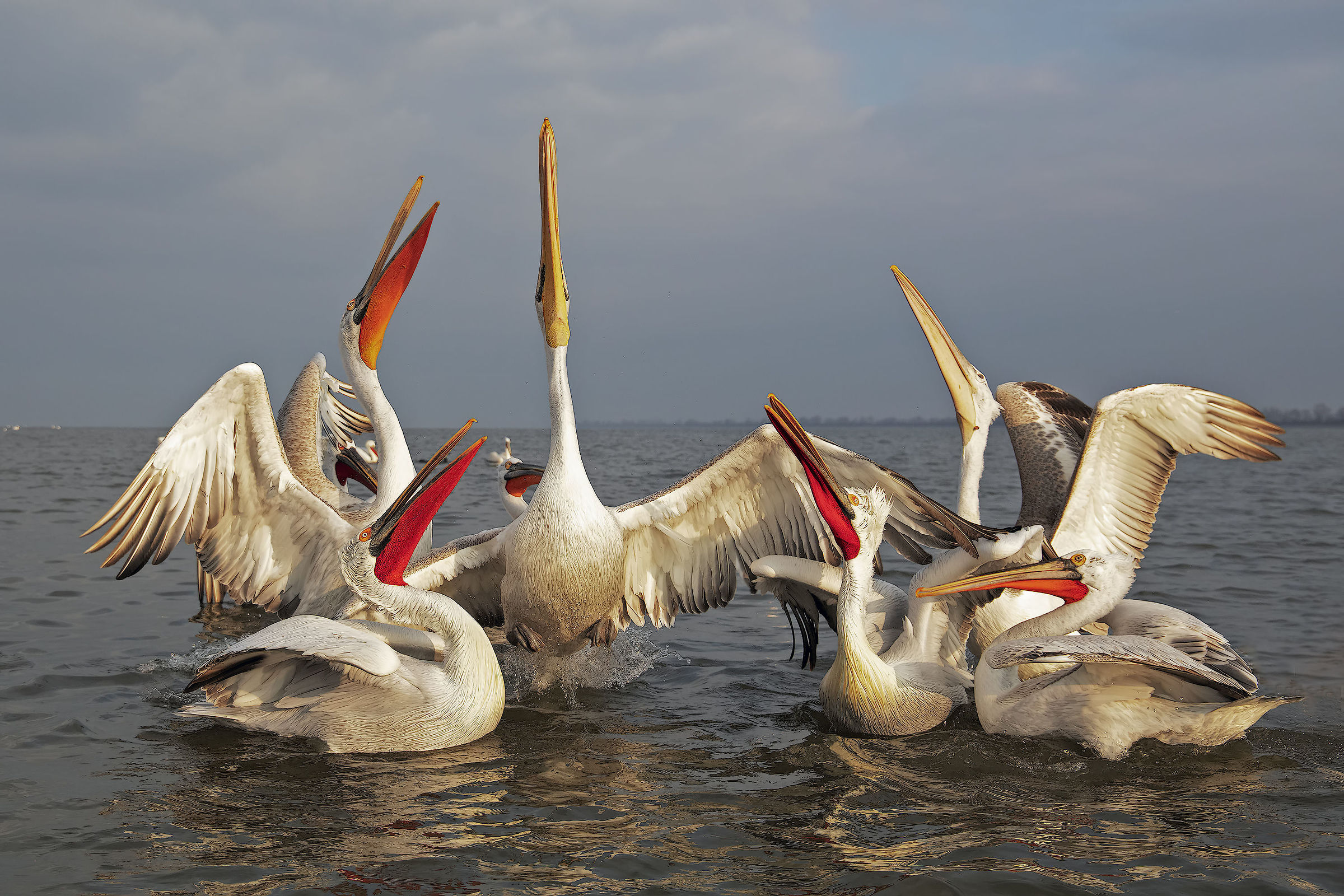 Curly Pelicans...