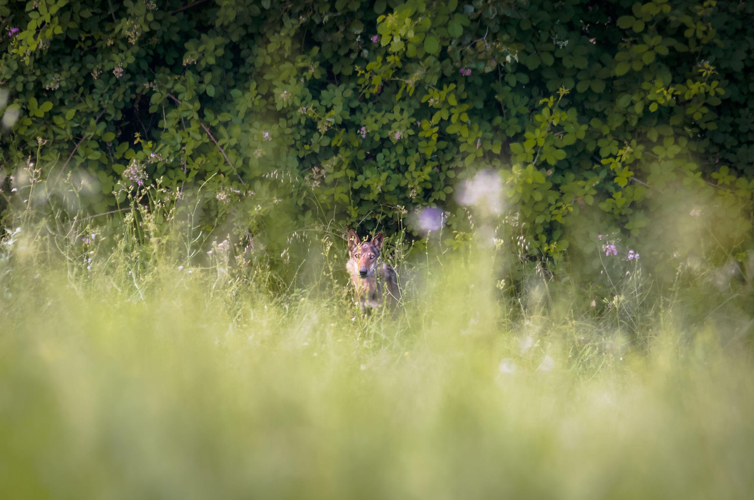 In the dense vegetation ...
