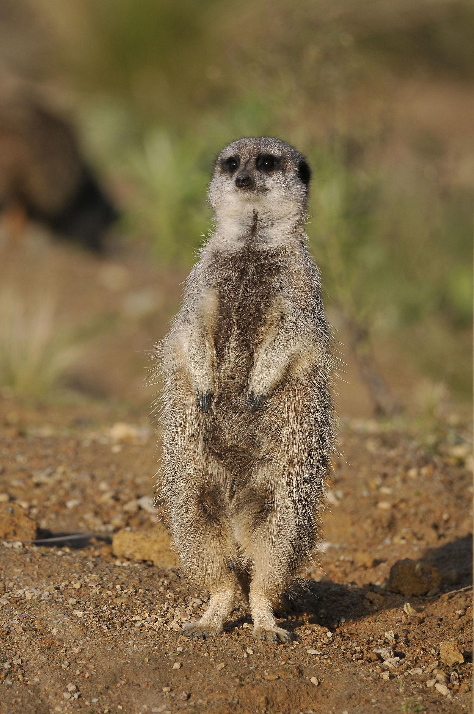 Meerkat (Jersey Zoo)...