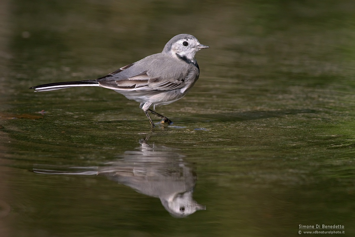 White Wagtail...
