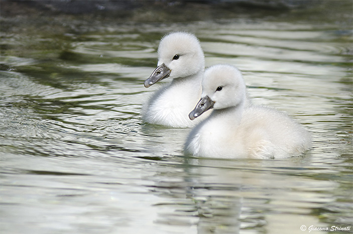Young swans...