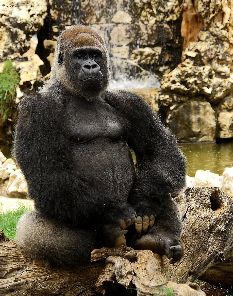 Mr. Gorilla...