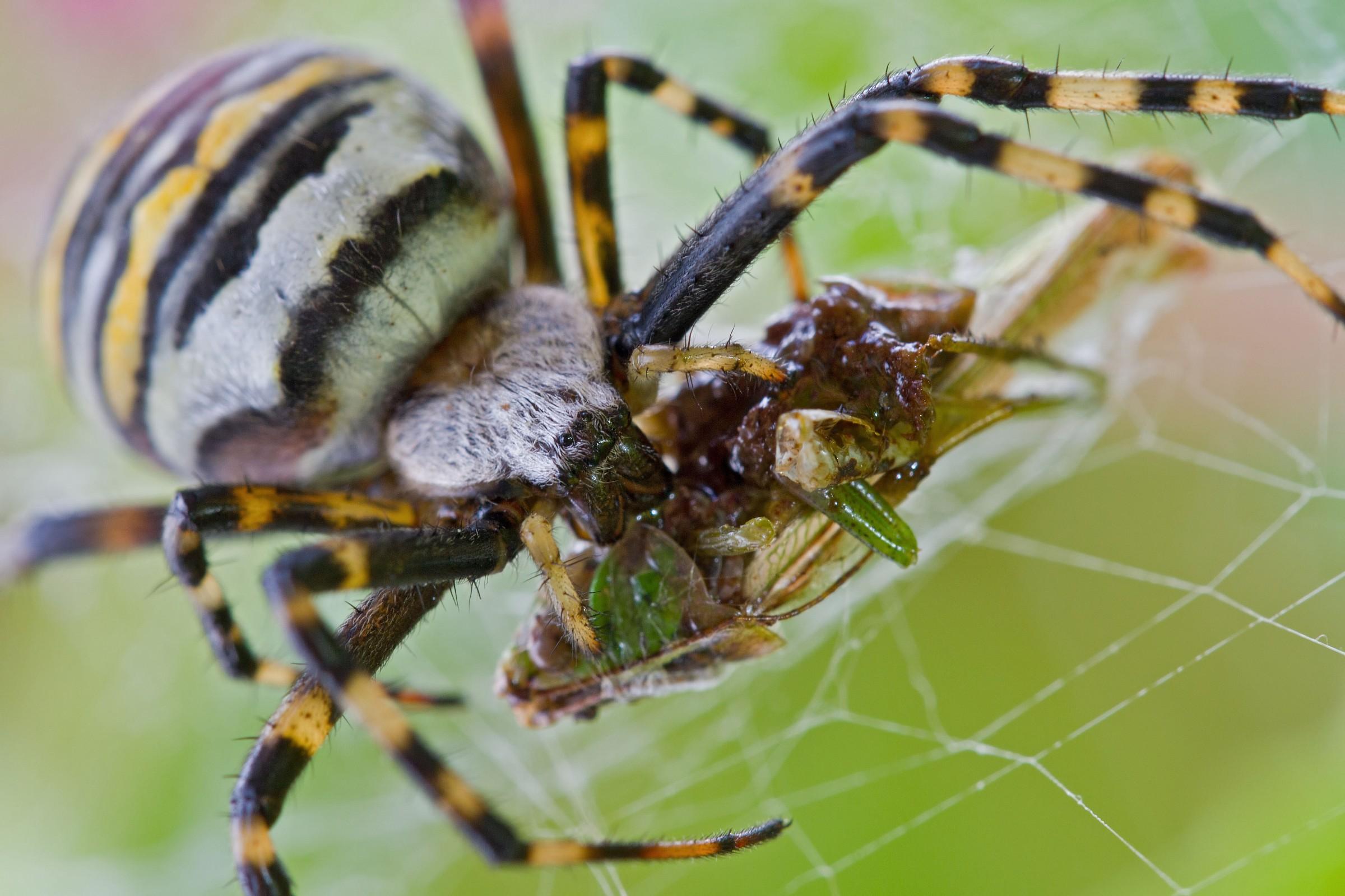 есть автобусная паук с брюшком как у осы фото белоснежный тандеме розовым