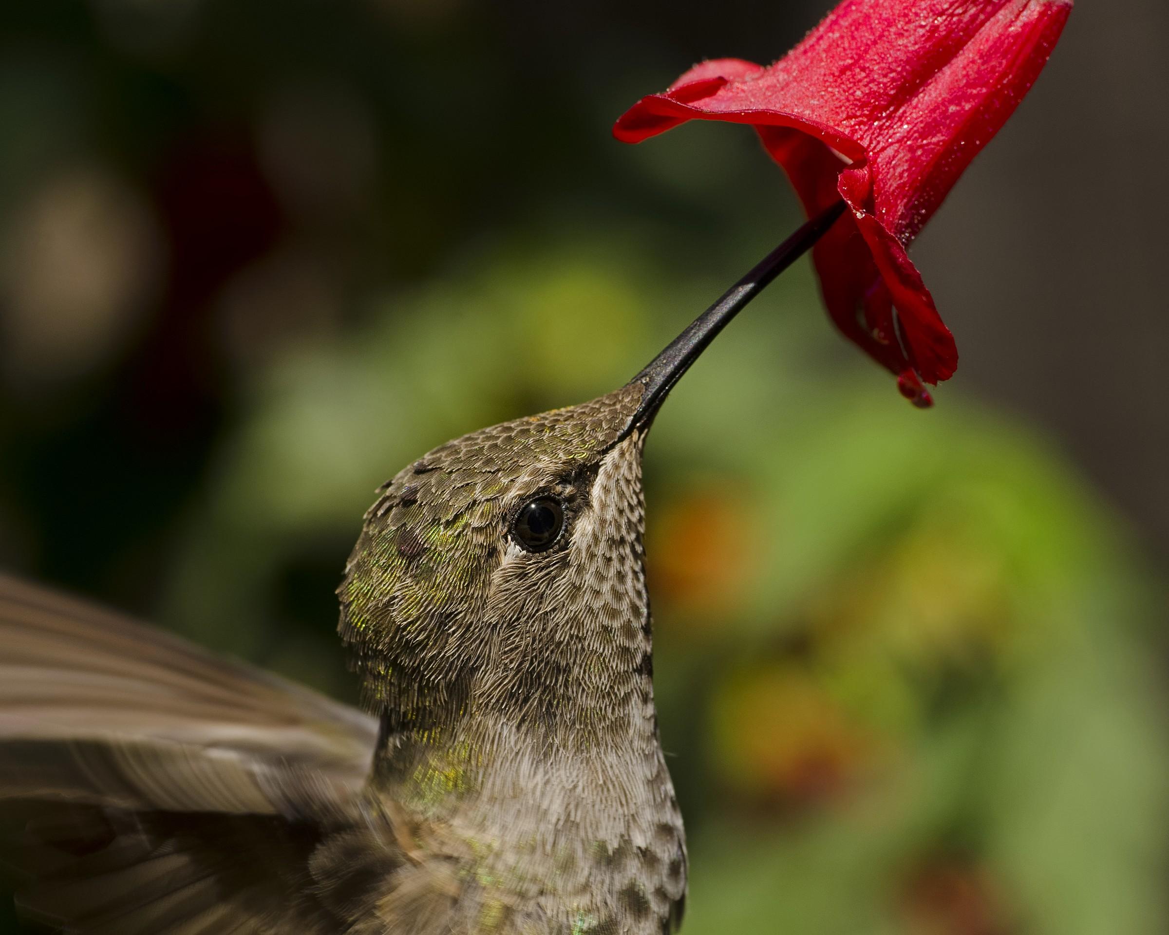 Anna's Hummingbird Portrait I...