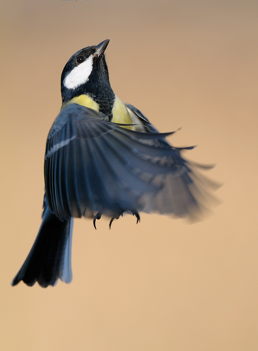 Another great tit...