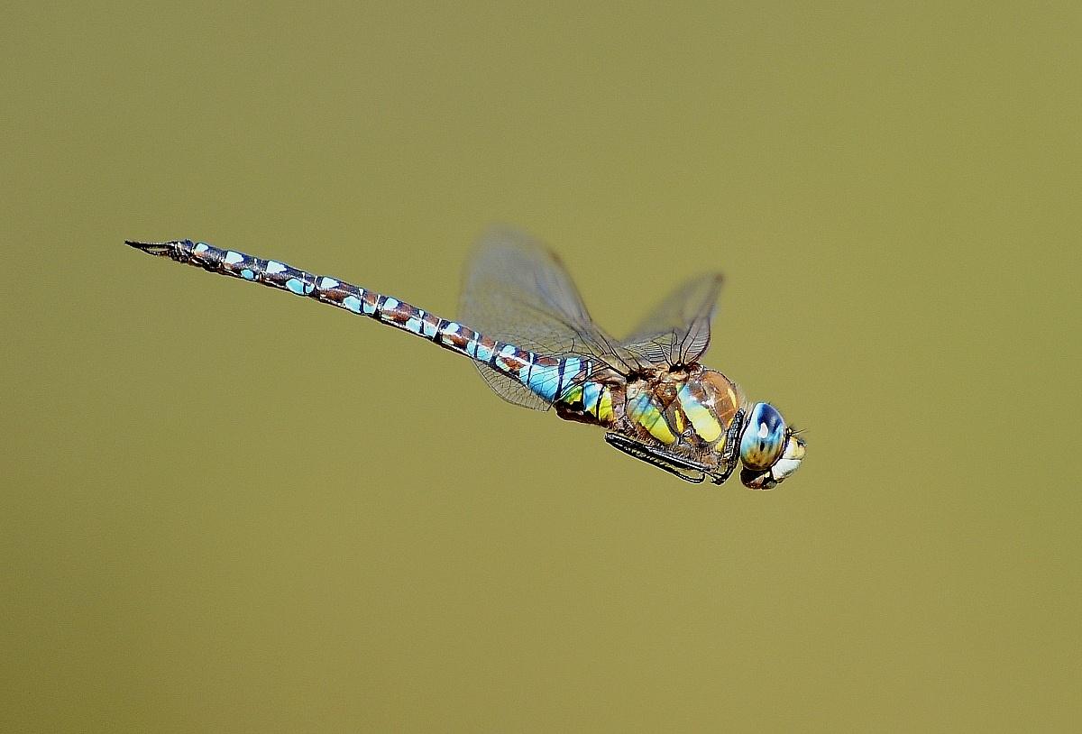 dragonfly in flight...