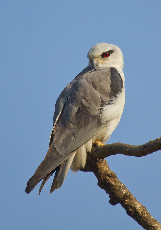 Black Shouldered Kite....