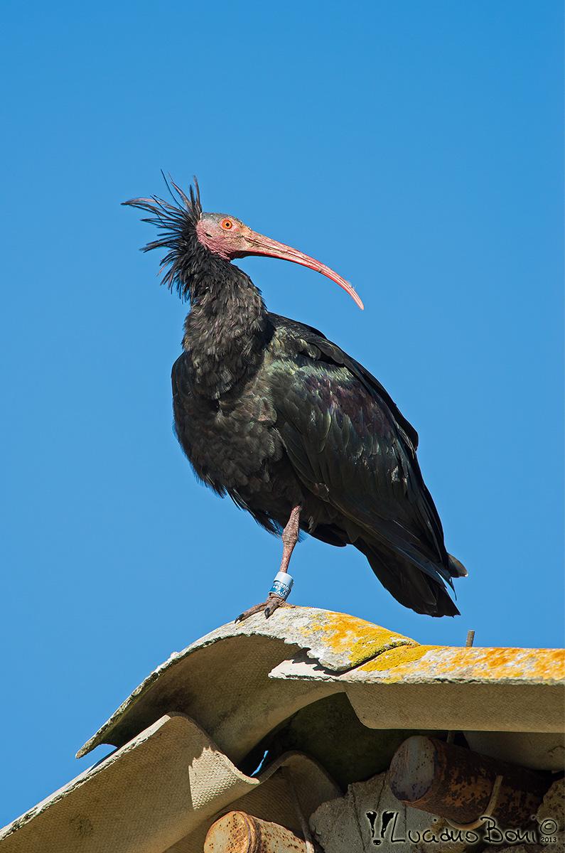 Hermit Ibis...