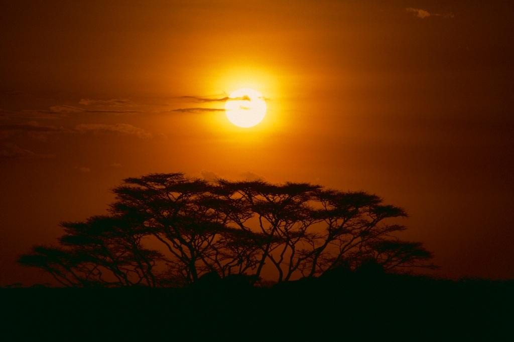 Acacia tree...