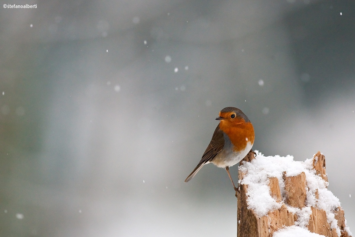 Robin in the snow...