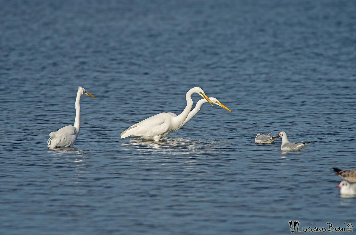 White Heron Major...