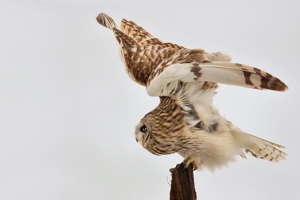 Хвост совы картинки