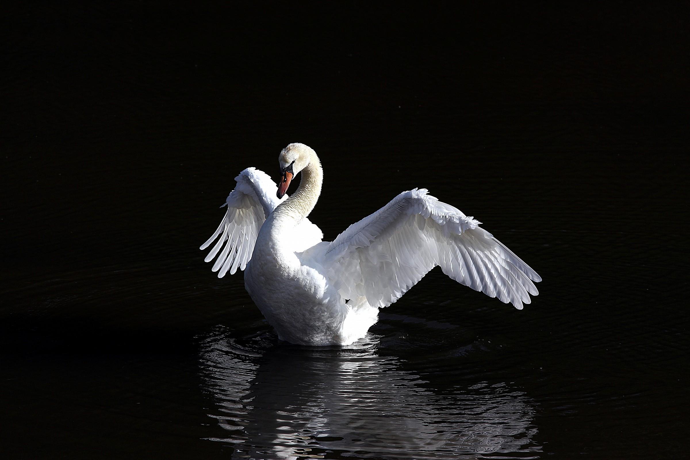 Swan danza...