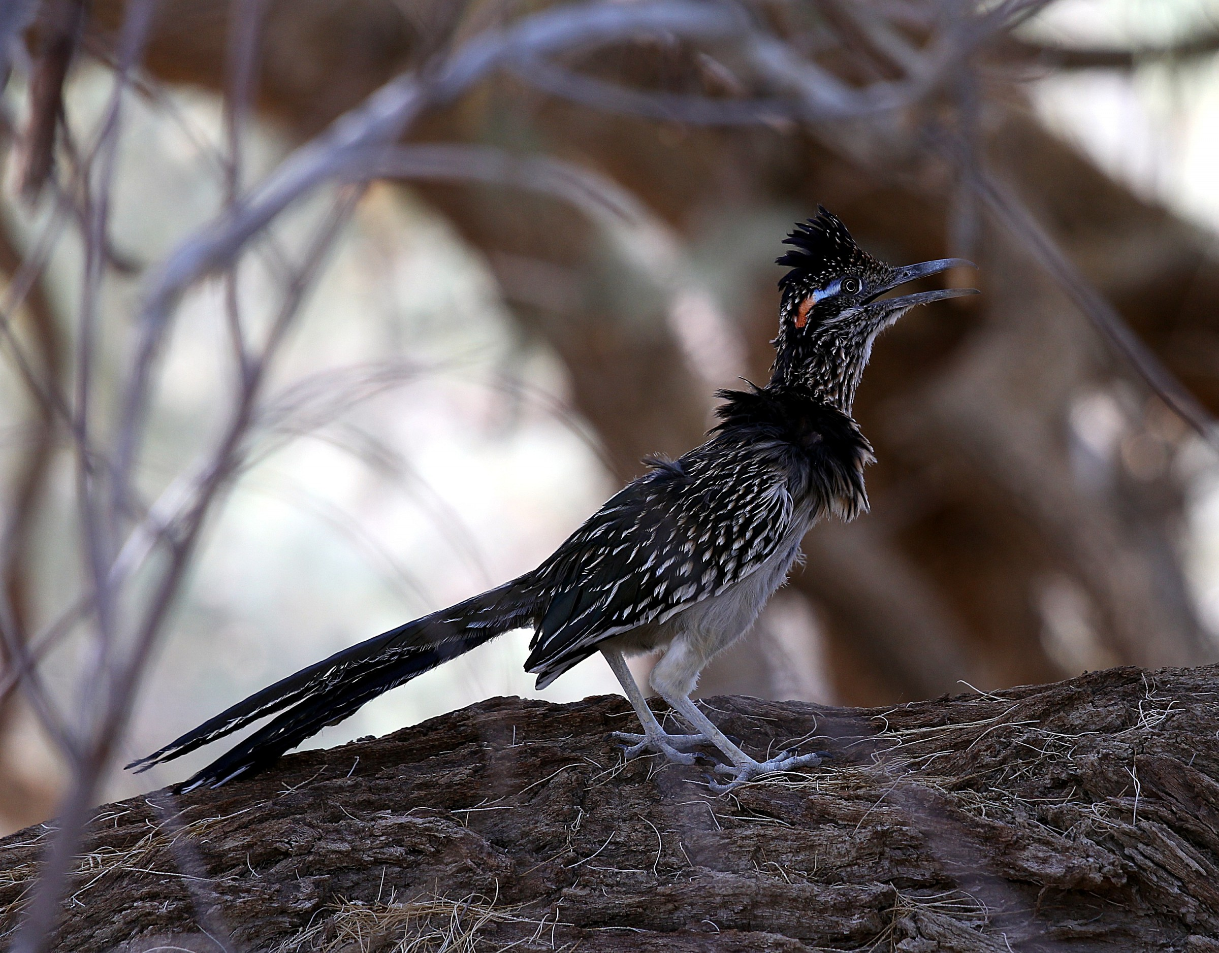 Roadrunner, Death Valley...
