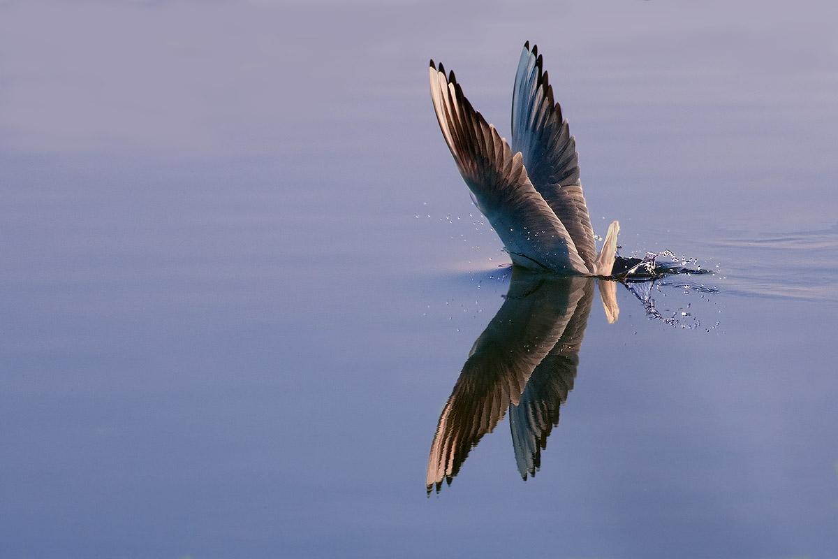 The dip gull...