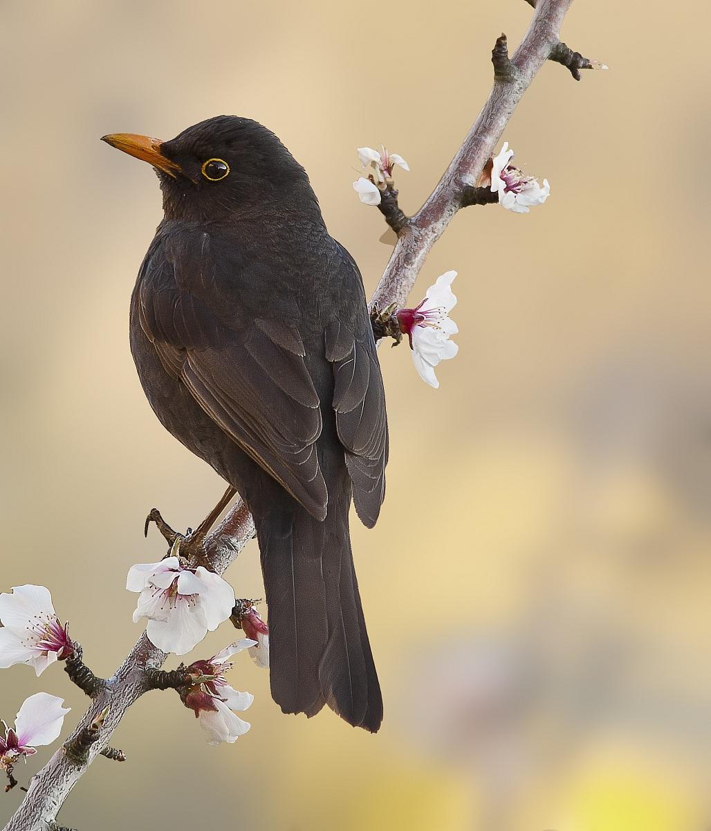 Sig merlo che voglia di primavera juzaphoto - Primavera uccelli primavera colorazione pagine ...