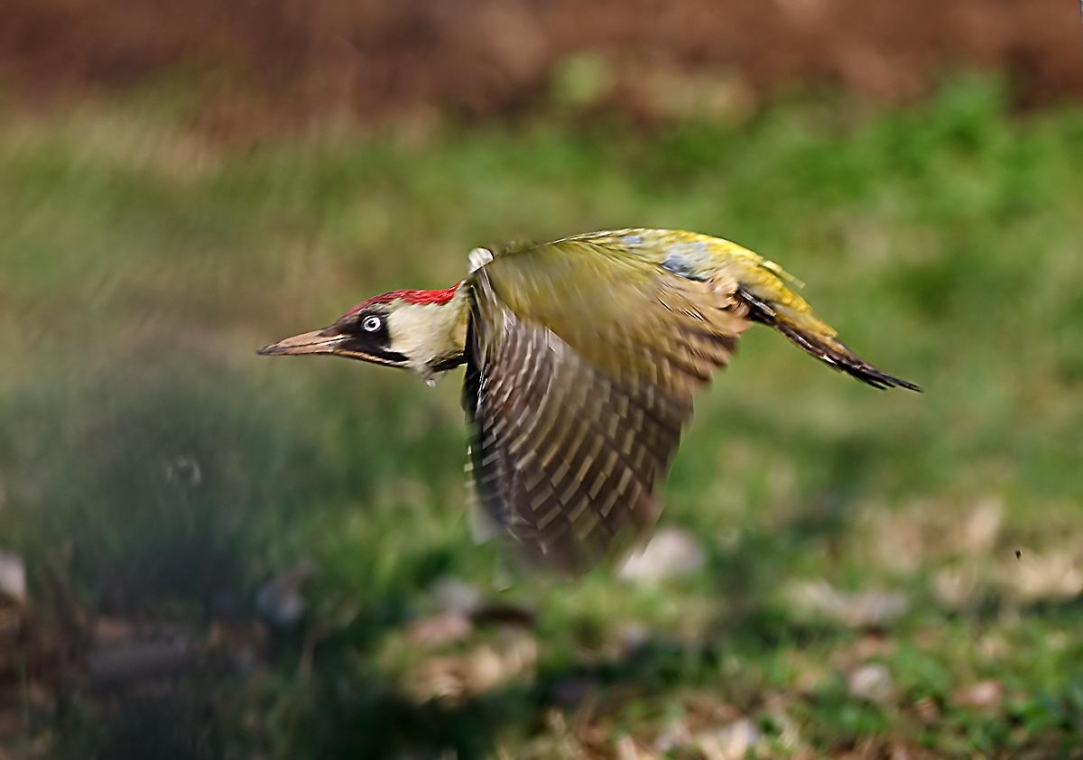 Green Woodpecker...