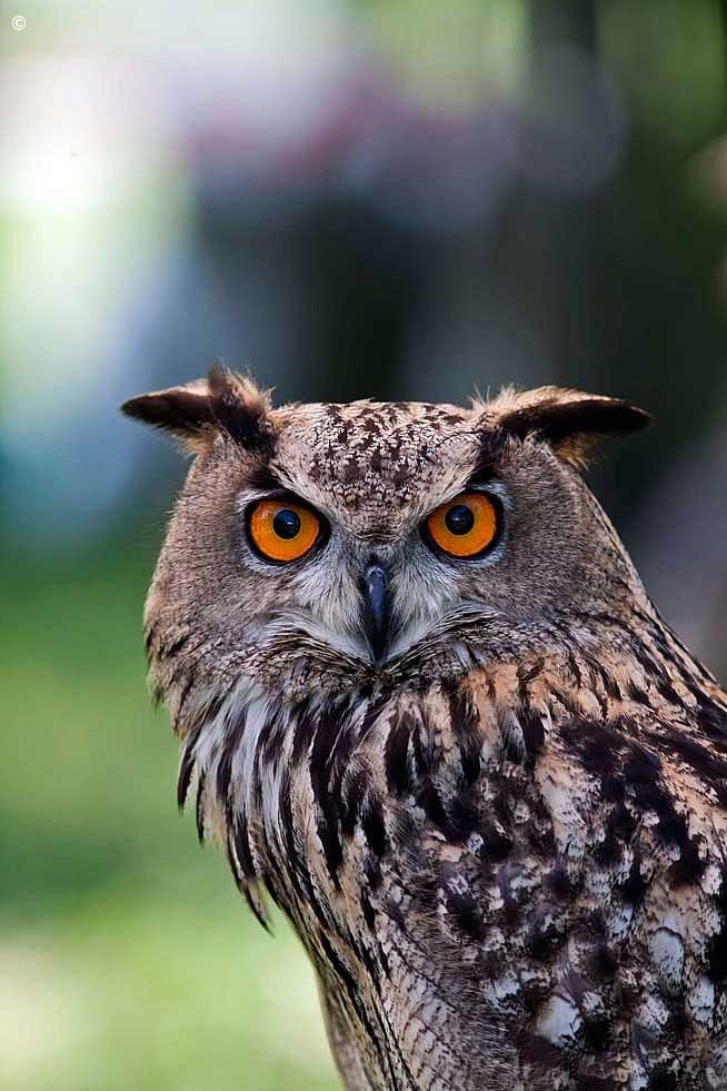 Eagle Owl...