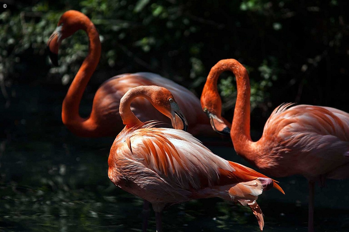 Cuban flamingo...