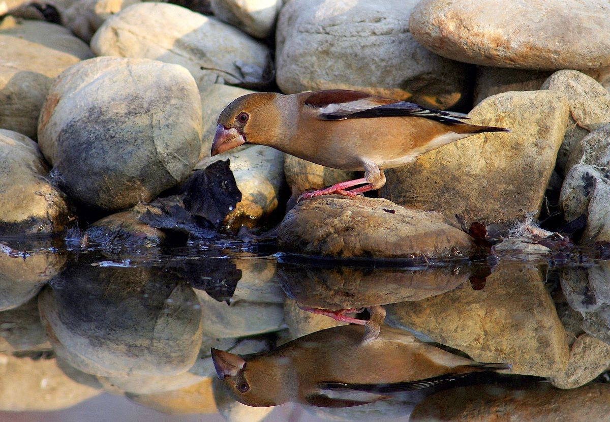 Hawfinch (female) in the mirror...