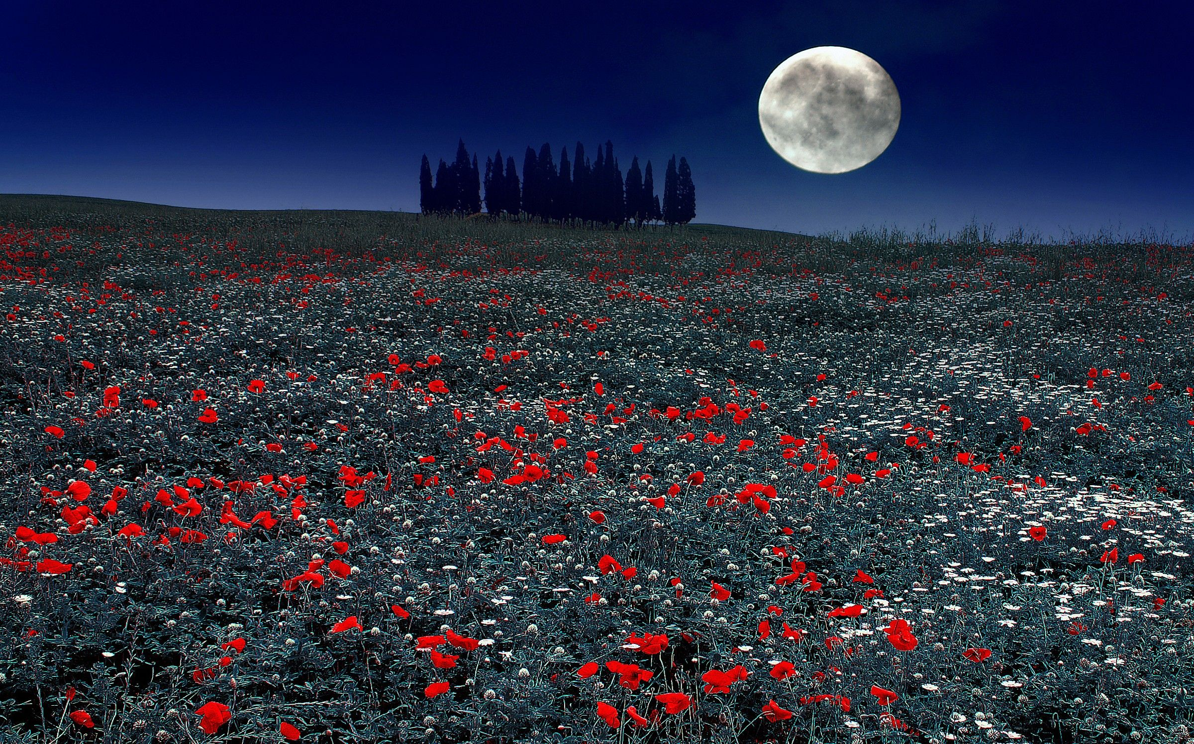 Val D'Orcia ... thousands of red poppies...