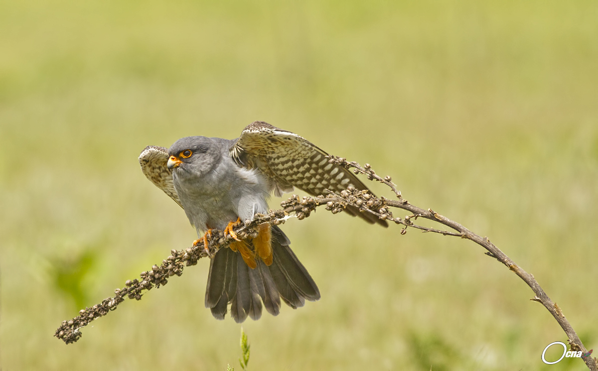 red-footed falcon...