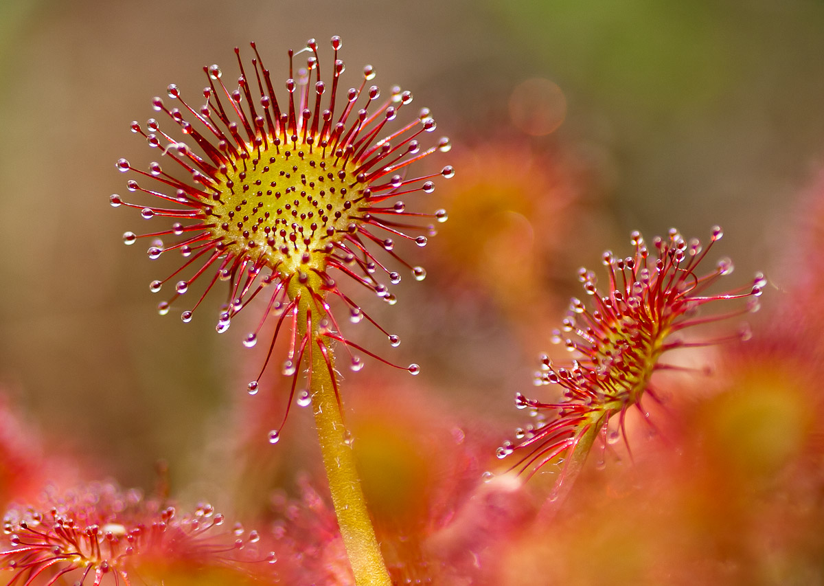Drosera rotundifolia...