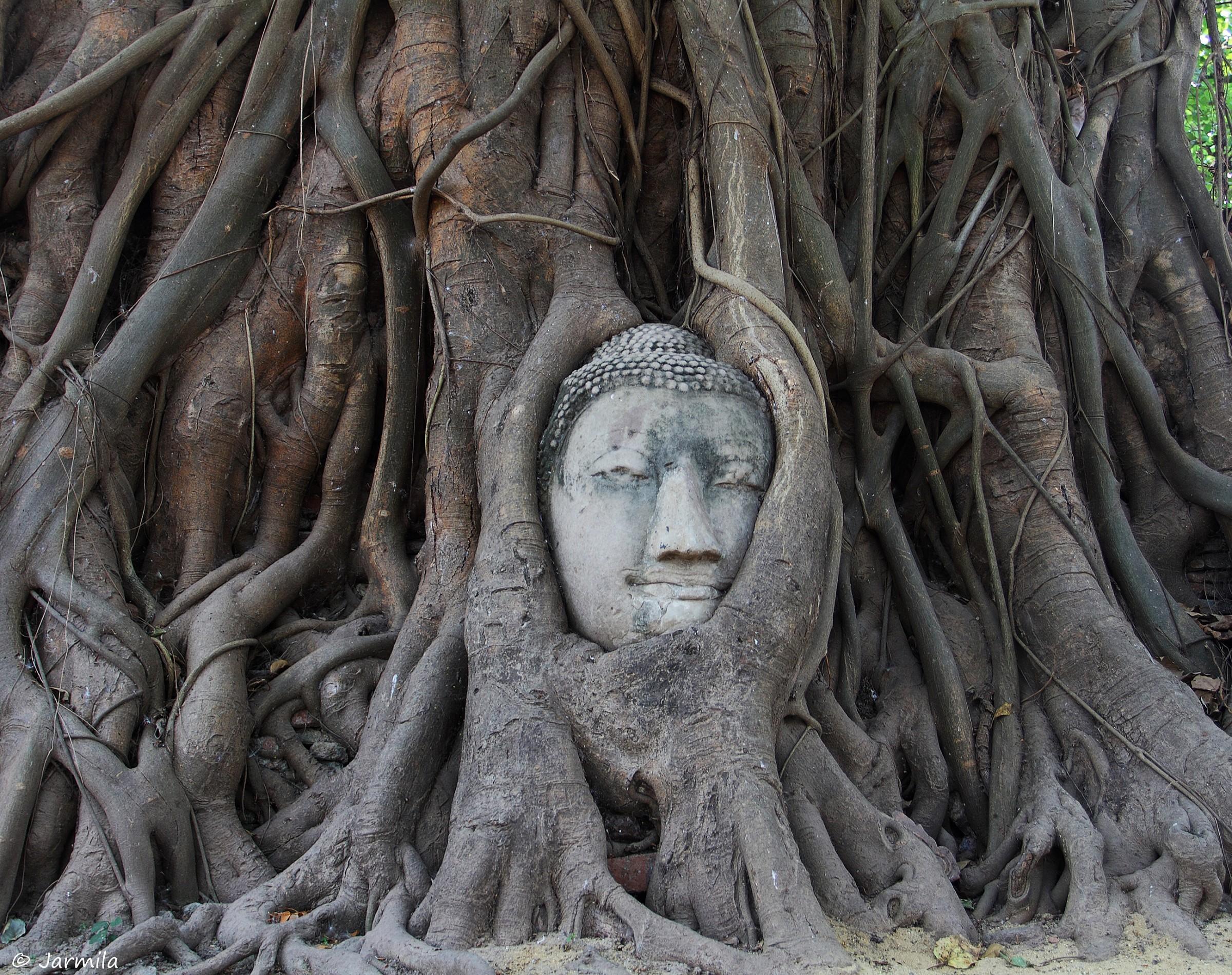 Ayutthaya: testa di Buddha tra le radici...