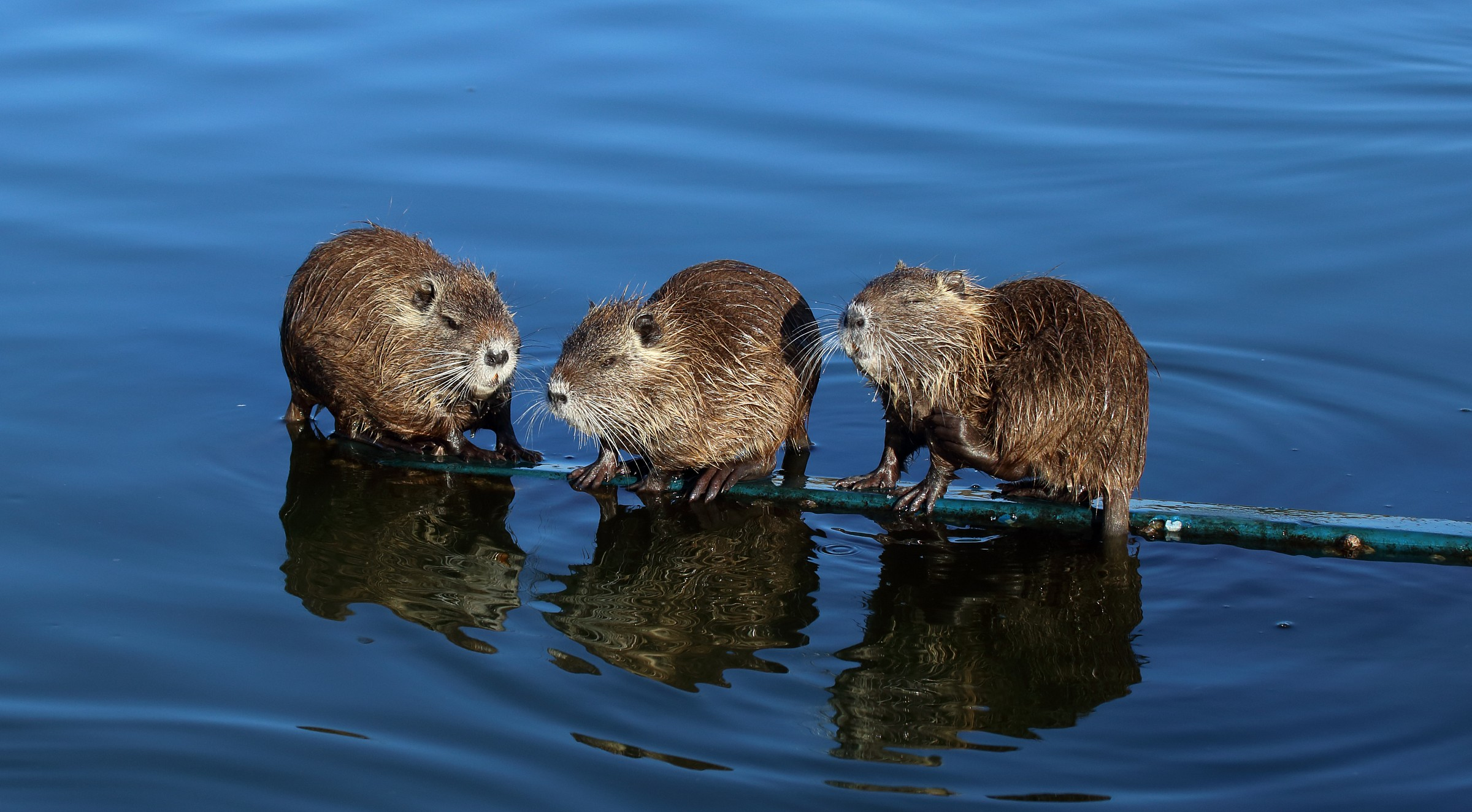 otters adolescents...