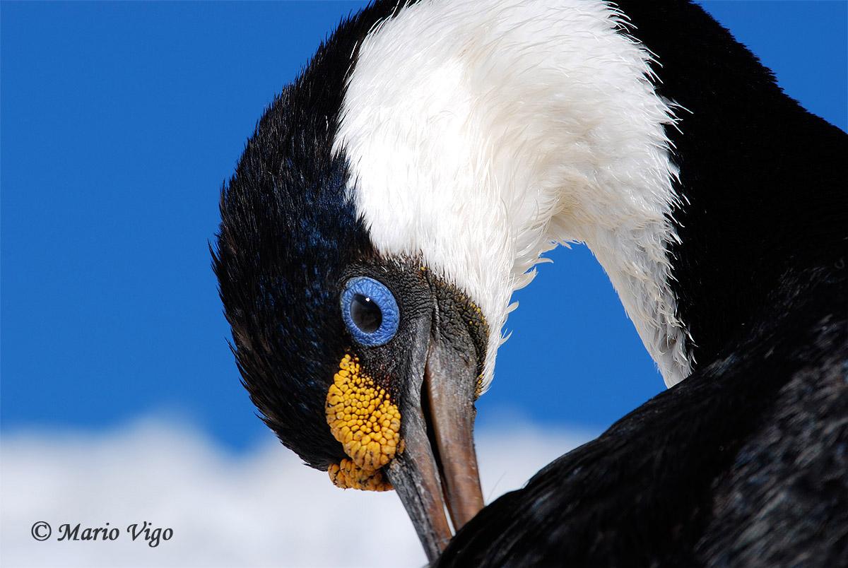 Imperial cormorant (Leucocarbo atriceps)...