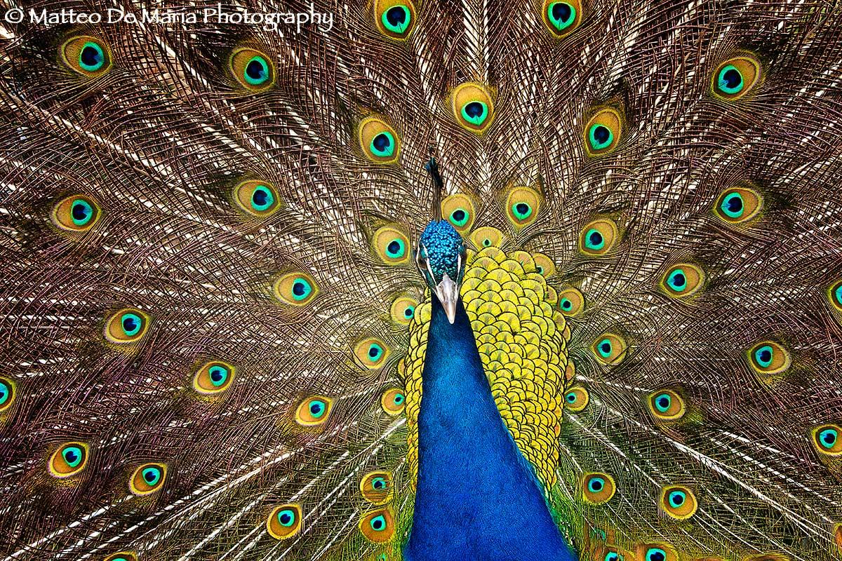 Uccelli by mdmphotographer juzaphoto - Immagini pavone a colori ...