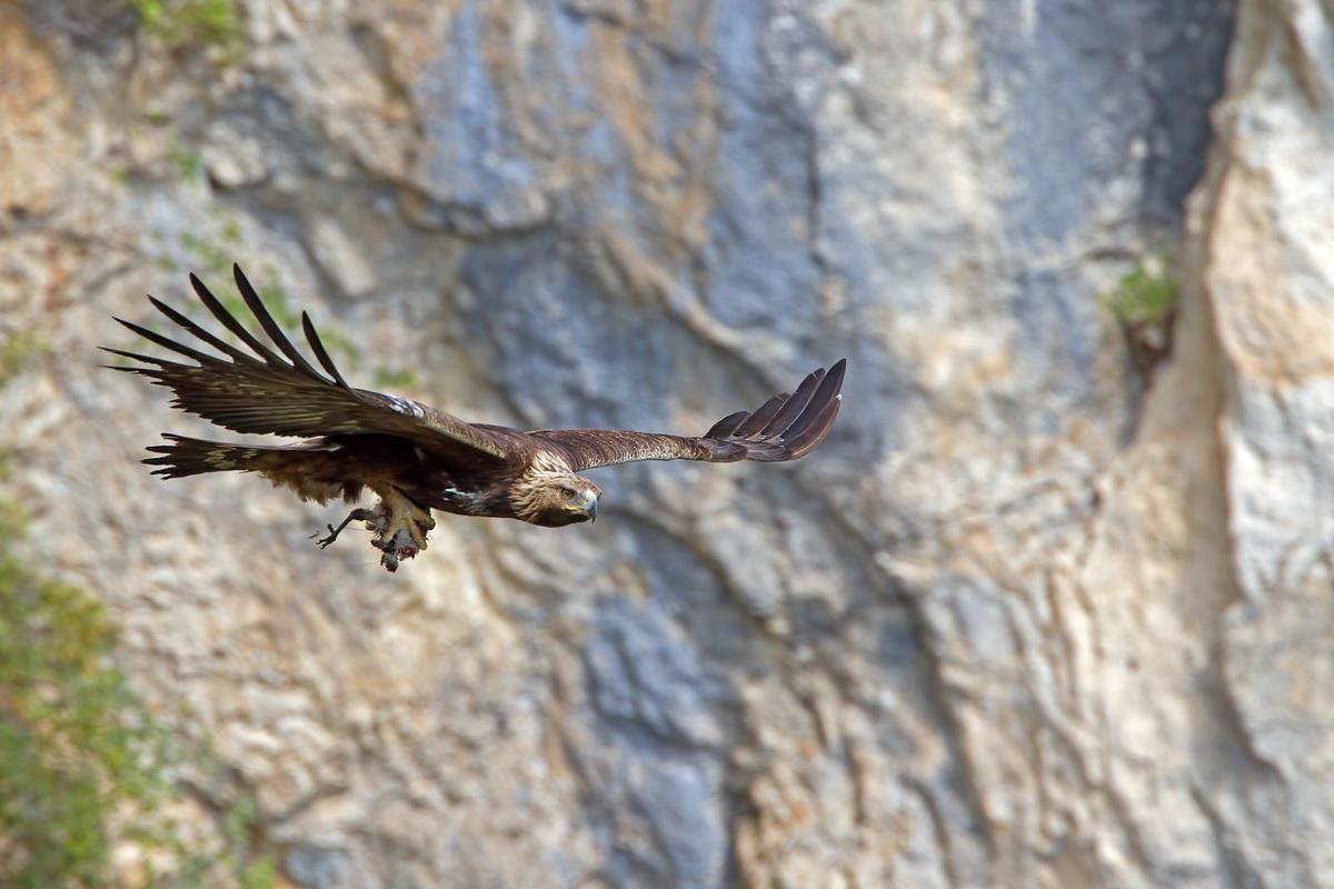 Aquila reale con preda...
