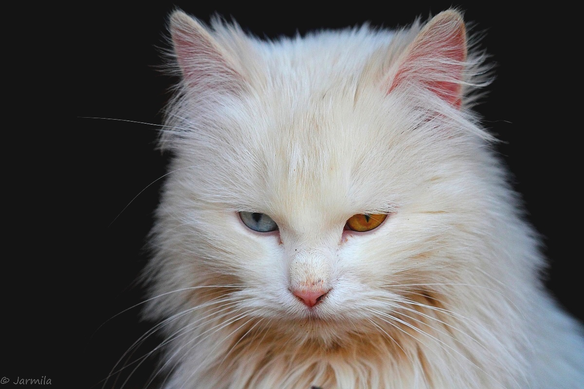 Il gatto bianco dagli occhi diversi juzaphoto for Gatti con occhi diversi